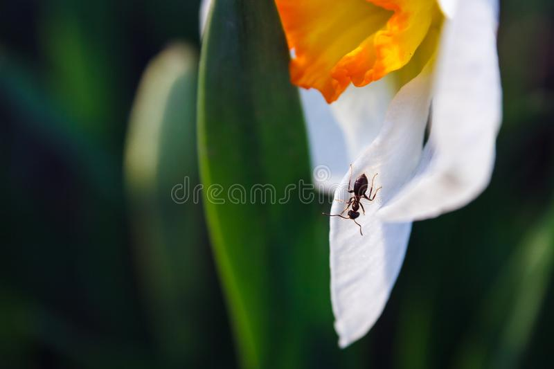 Closeup black ant on white petal of narcissus flower, copy space royalty free stock photos