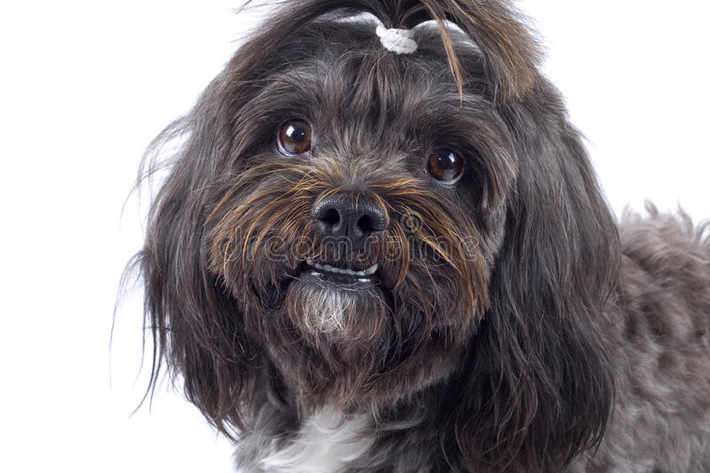 Closeup of a black bichon puppy stock image