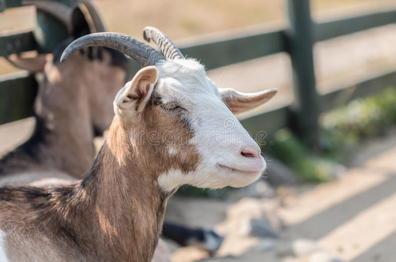 Closeup black and brown hair goat portrait in farm. Closeup white and brown hair goat portrait in farm stock images