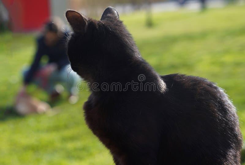 Closeup of black cat watching dog on grass stock image
