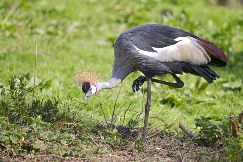 Closeup Black Crowned Crane royalty free stock photos