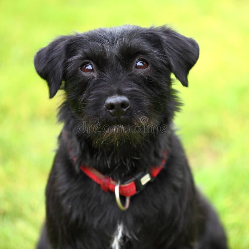 Closeup black dog stock photo