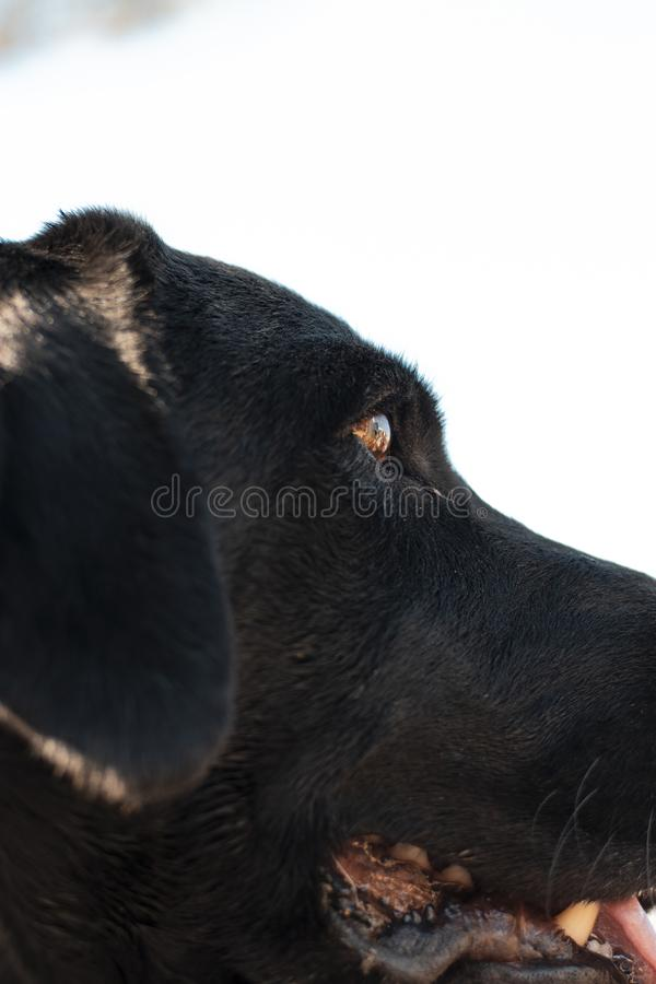 Closeup of a black dog`s face with a white background royalty free stock photos