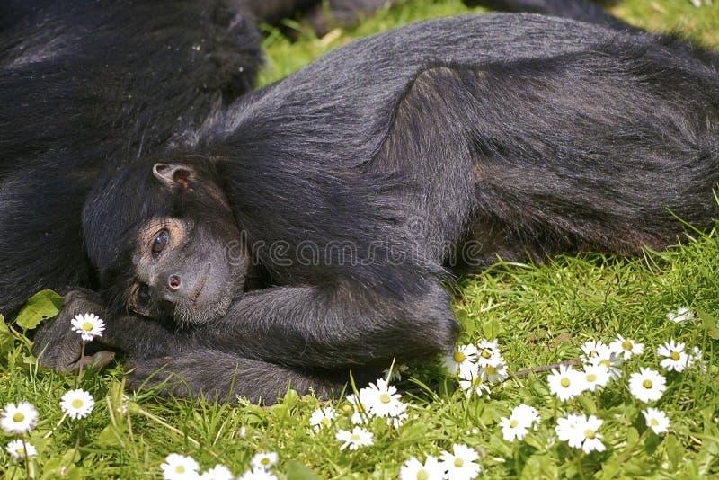 Closeup black-headed spider monkey stock photos