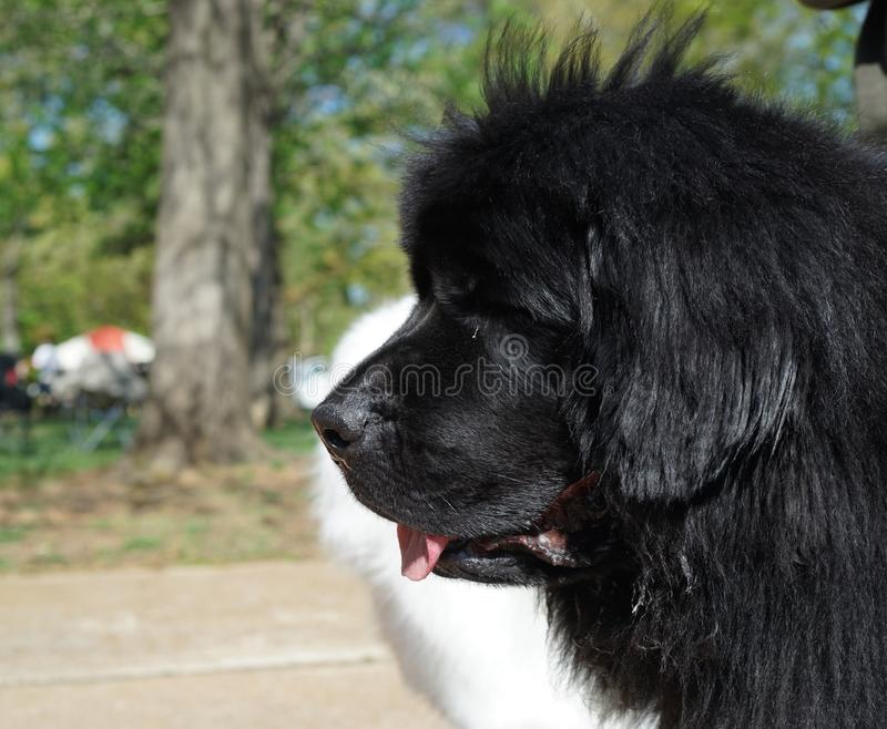 Closeup of black Newfoundland dog. Black Newfoundland dogs are one of the largest breeds. They originated in Canada and are cold tolerant with a sweet stock photography