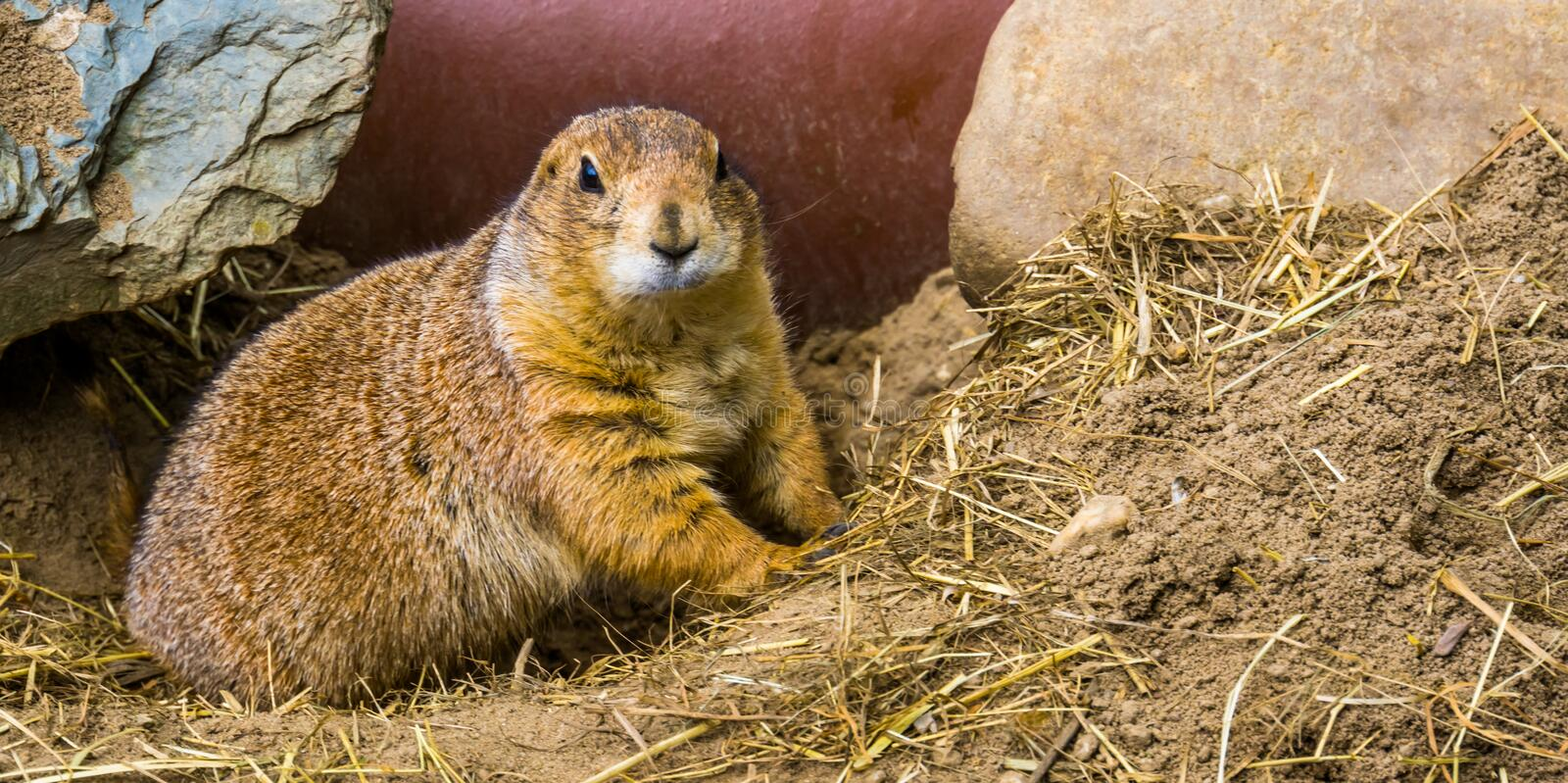 Closeup of a black tailed prairie dog, cute and popular pet, Tropical rodent from America. A closeup of a black tailed prairie dog, cute and popular pet royalty free stock photography