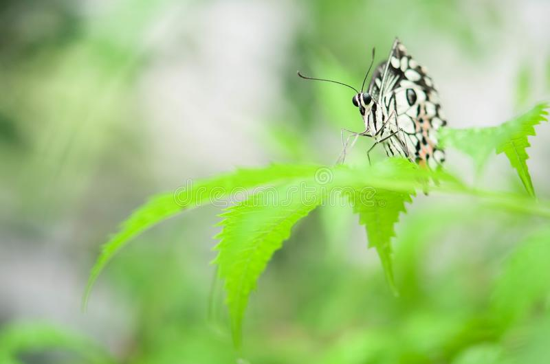 Closeup black and white butterfly on blurred green leaf background. In garden with copy space using as background natural green plants landscape royalty free stock images