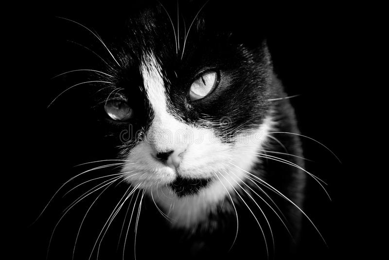 Closeup of black and white cat. Black and white photography royalty free stock photos