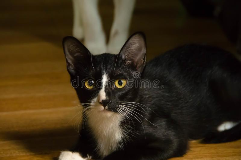 Closeup black and white cat royalty free stock photos