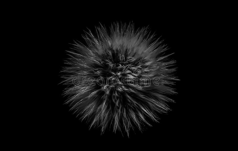 Closeup of a black and white dandelion seed head isolated on black background royalty free stock photo
