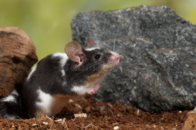 Closeup black and white decorative mouse stands on the back of the paws near stone on green leaves background stock photography