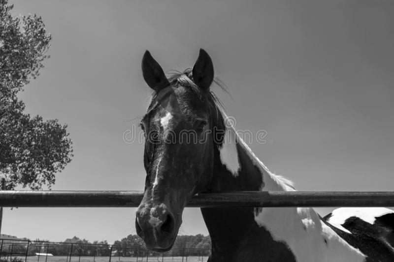 Closeup in black and white of paint horse looking over fence. Closeup portrait in black and white of a beautiful paint horse with its head over the top rail of stock image