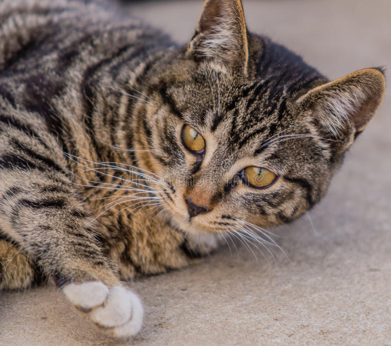 Closeup of a black and white tabby cat. Black and white tabby cat lying down on a bolder royalty free stock photos