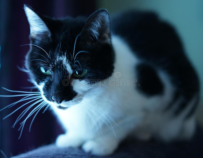 Closeup of black and white tuxedo cat. Tuxedo cat takes in early morning light from window royalty free stock photo