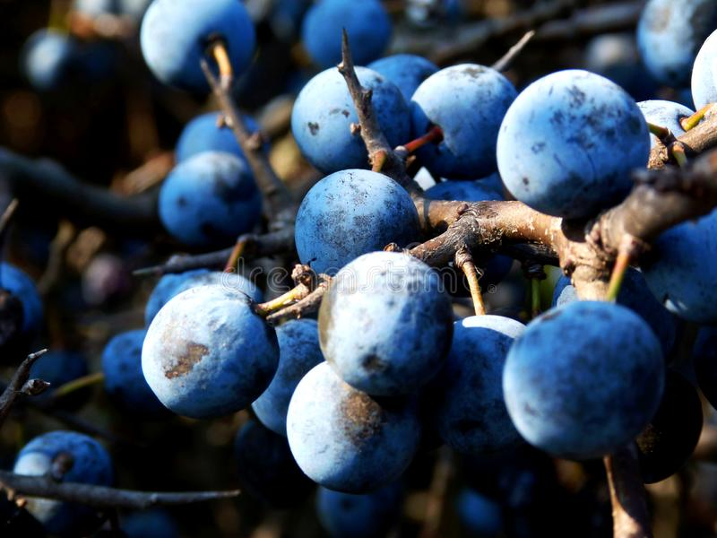 closeup of Blackthorn on other name Sloe. small blue berry type wild fruits stock photography