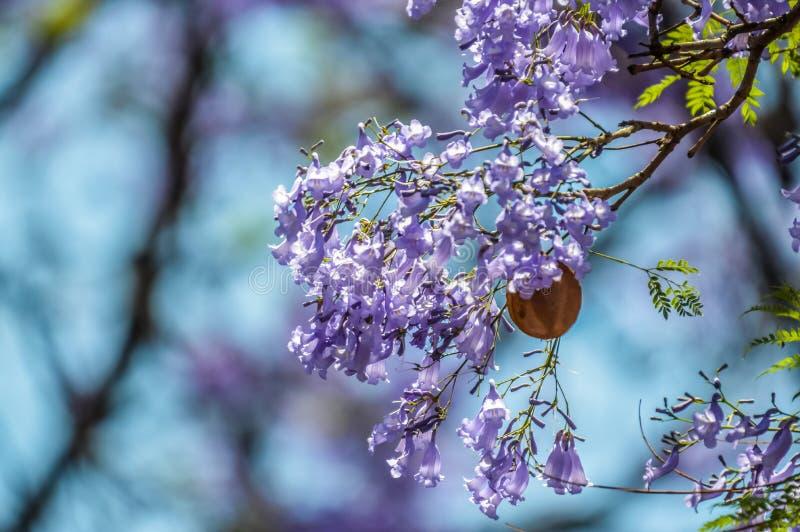 Closeup bleu violet Jacaranda mimosifolia à Pretoria Afrique du Sud contre ciel bleu photographie stock
