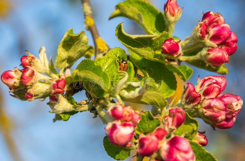 Blooming apple tree branch in spring. Closeup shot stock image