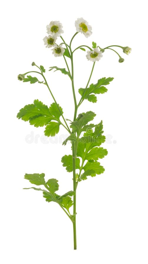 Blooming feverfew, Tanacetum parthenium isolated on white background. Closeup of blooming feverfew, Tanacetum parthenium isolated on white background stock illustration