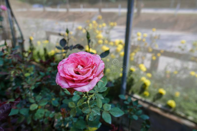 Closeup of blossom pink rose in glasshouse in daytime in rural area for love, passion, agritourism, agrotouris. Closeup of blossom pink rose in glasshouse in stock photography