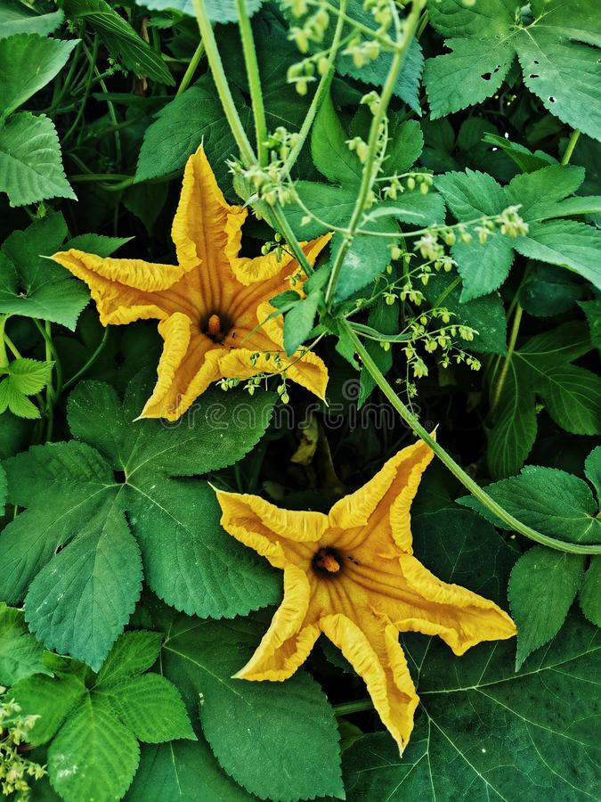 closeup of blossom pumpkin flowers in early autumn stock image