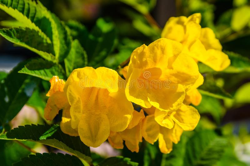 Closeup of the blossoming tecoma stans also called ginger thomas, trumpet flower or yellow elder. Closeup of blossoming tecoma stans also called ginger thomas stock photo