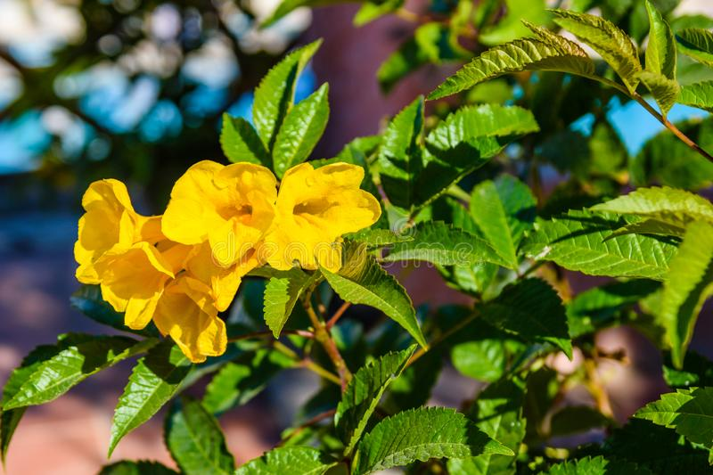 Closeup of the blossoming tecoma stans also called ginger thomas, trumpet flower or yellow elder. Closeup of blossoming tecoma stans also called ginger thomas royalty free stock photo