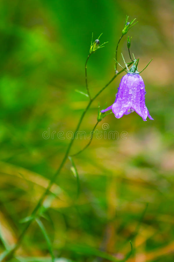 Download Closeup Of Blue Bell Flower Stock Photo - Image: 25567682