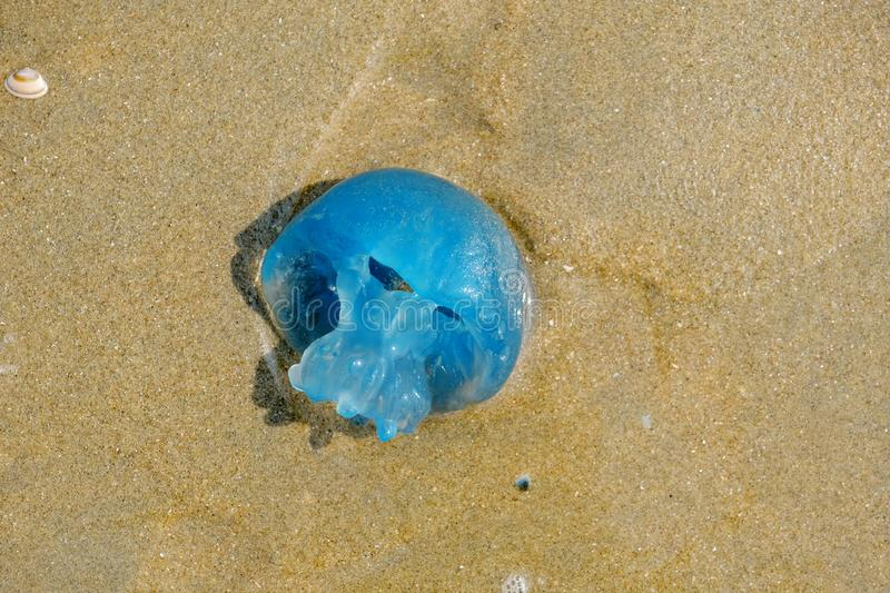 Closeup of a Blue Blubber Jellyfish, stranded in the sand of the Dutch coast. Closeup of a Blue Blubber Jellyfish, stranded in the beige sand of the Dutch coast stock photos