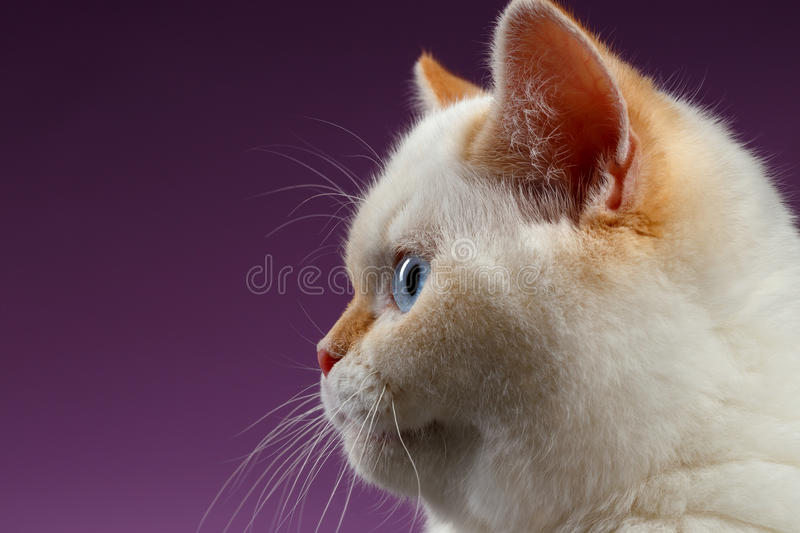 Closeup Blue Eyed British Kitten in Profile view on purple royalty free stock photography