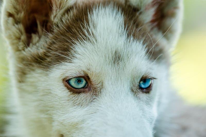 Closeup of blue eyed Husky Puppy. Close up of cute blue eyed Siberian husky puppy looking around stock photos