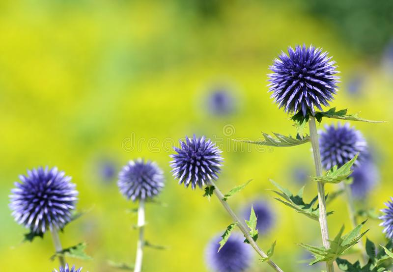 Closeup of Blue Glow Globe Thistles. royalty free stock images