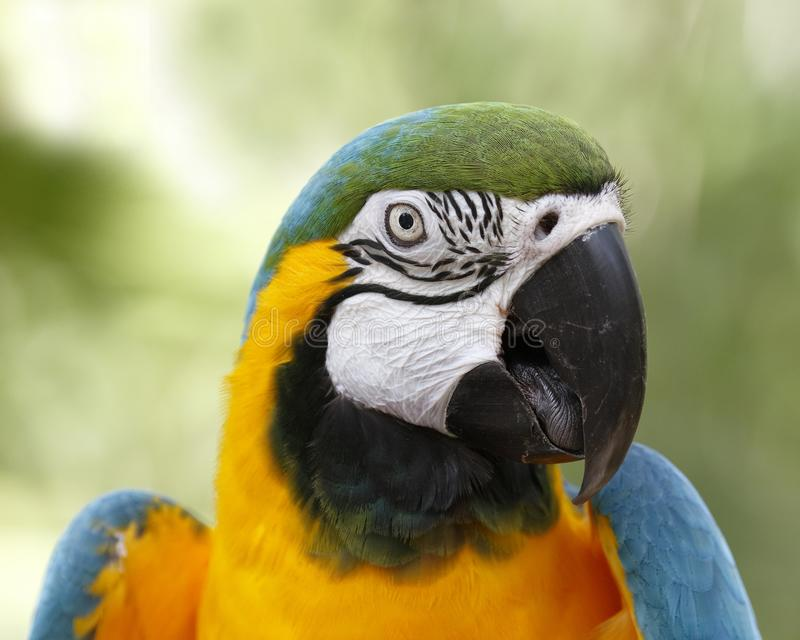 Closeup of Blue and Gold Macaw. Closeup of captive Blue and Gold Macaw stock photo