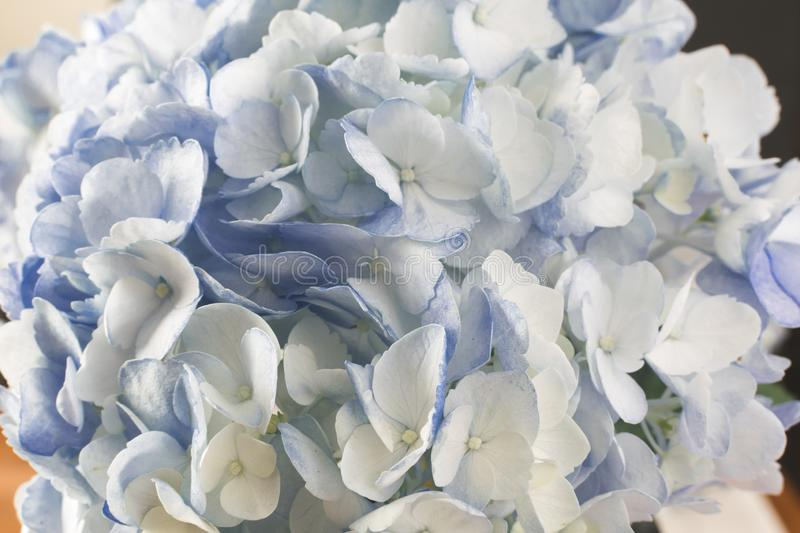 Closeup blue hydrangea blossoms full frame. Closeup of petals of blue hydrangea blossoms filling the full frame; soft petals; delicate flowers stock photo