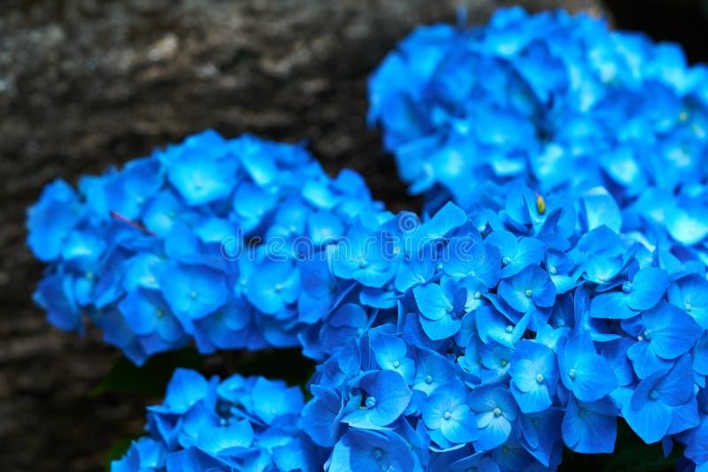 Closeup of blue hydrangea Hydrangea macrophylla royalty free stock photography