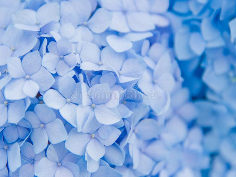 Closeup of blue hydrangea in summer stock images