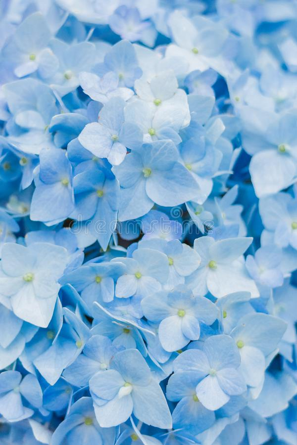 Closeup of blue hydrangea in summer royalty free stock image