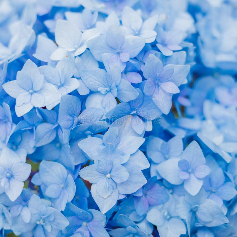 Closeup of blue hydrangea in summer stock photography