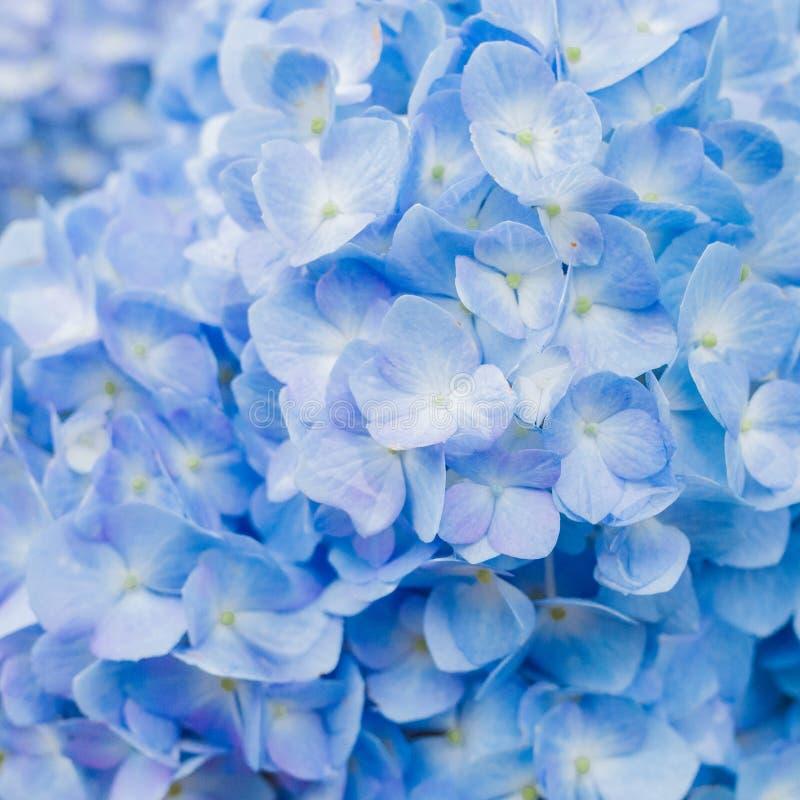 Closeup of blue hydrangea in summer stock photo