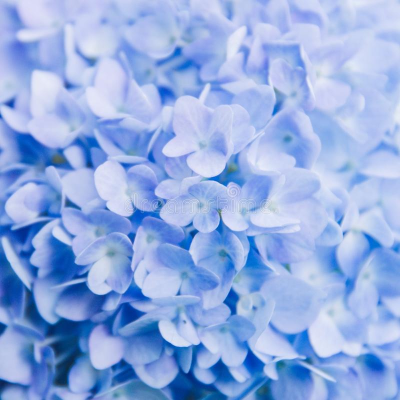 Closeup of blue hydrangea in summer royalty free stock images