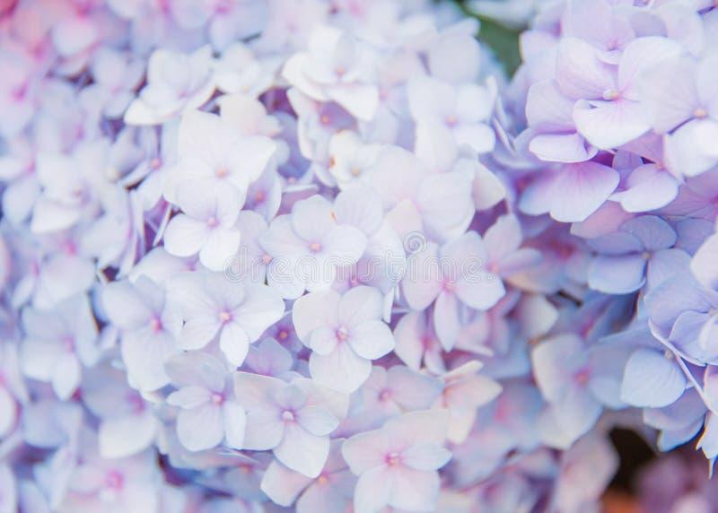 Closeup of blue hydrangea in summer royalty free stock photos