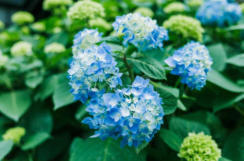 Blue hydrangeas in half blooming royalty free stock photos
