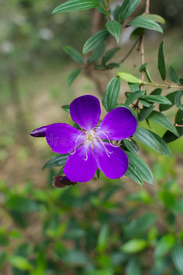 Closeup of blue Princess flower (Tibouchina semidecandra) royalty free stock images