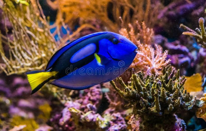 Closeup of a blue tang surgeonfish, popular tropical aquarium pet, exotic fish from the pacific ocean. A closeup of a blue tang surgeonfish, popular tropical royalty free stock images