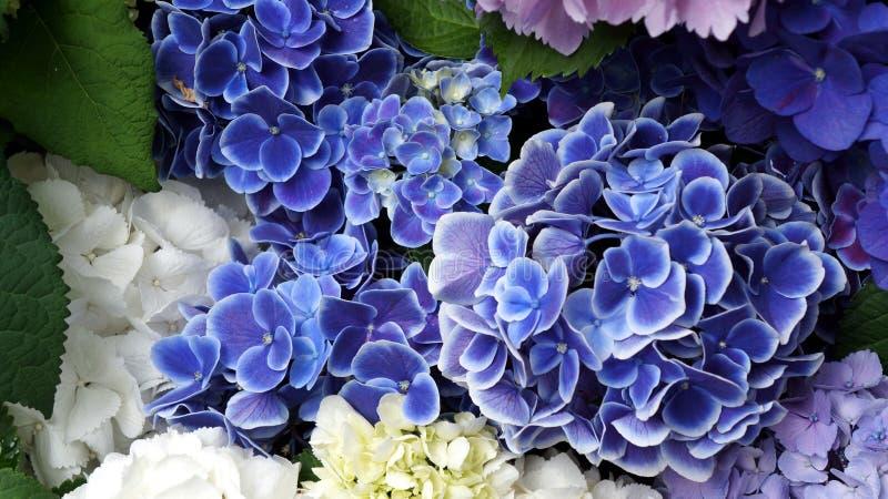 Closeup blue and white beautiful hydrangea royalty free stock photography