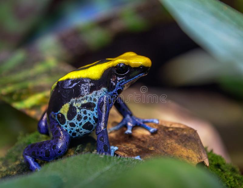 Blue and yellow Brazilian poison dart tree frog dendrobates tinctorius royalty free stock image