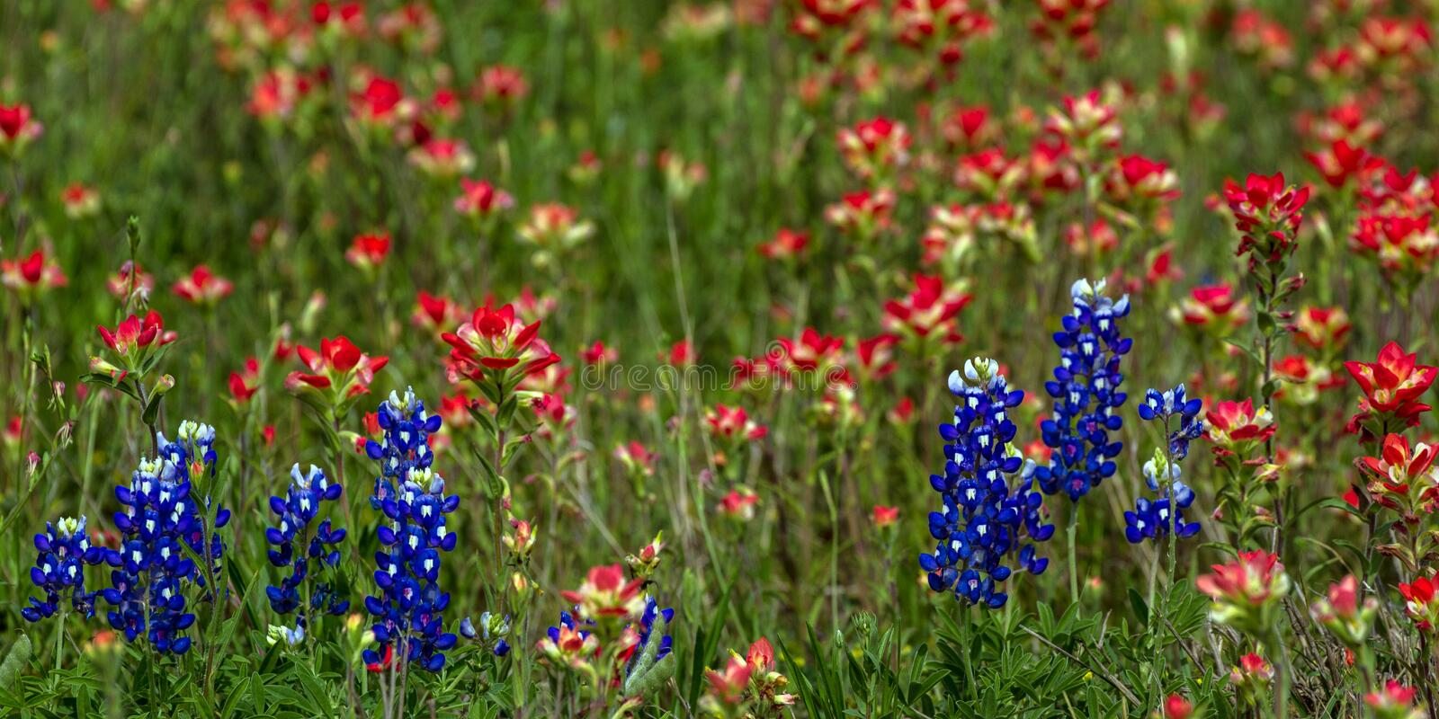 Closeup of Bluebonnets and Indian Paintbrushes in the Texas Hill Country photos libres de droits
