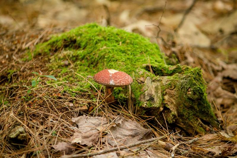 Closeup of bolete type mushroom near a moss with blurred natural background. A closeup of bolete type mushroom near a moss with blurred natural background stock photography