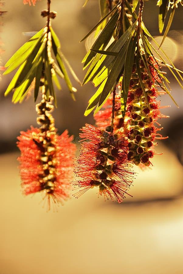 Closeup Of Bottlebrush Plant Royalty Free Stock Photography