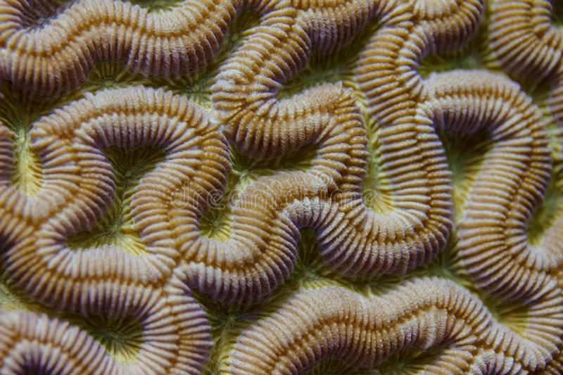 Closeup of Boulder Brain Coral Pattern stock photography