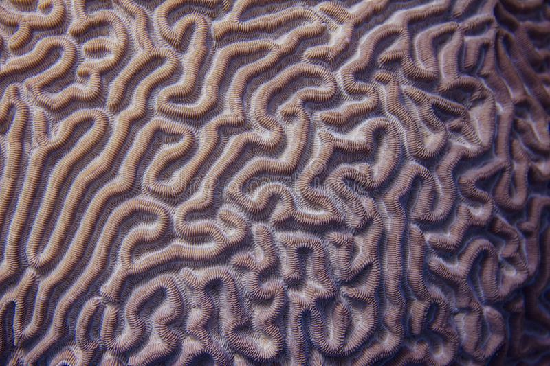 Closeup of Boulder Brain Coral Pattern royalty free stock photography